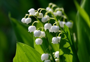 Q and A: Lily of the Valley Poisoning | The Crime Fiction