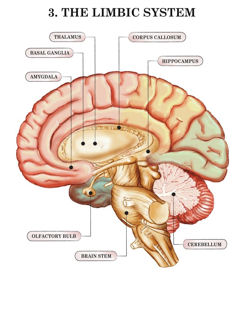 Inside Brain Diagram Limbic System