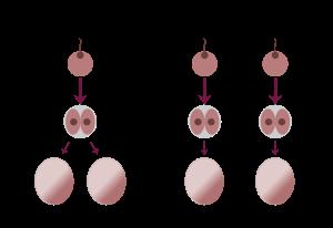 Twins egg:sperm