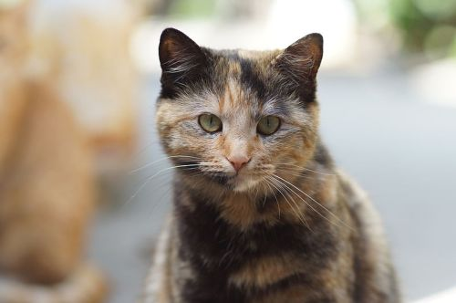 Tortoiseshell cat (Source: Wikipedia)