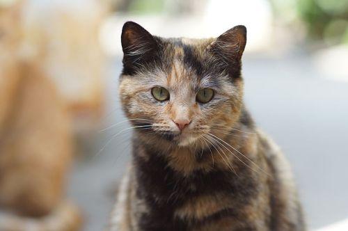 Tortoiseshell cat (Source: Wikipedia)
