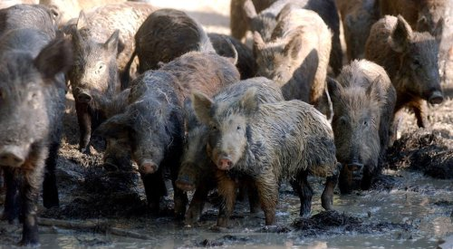 FERAL HOGS--DO NOT MESS WITH THESE GUYS