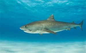 tiger-shark_1806626i