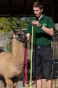 Adam Davies--the llama-wrangler